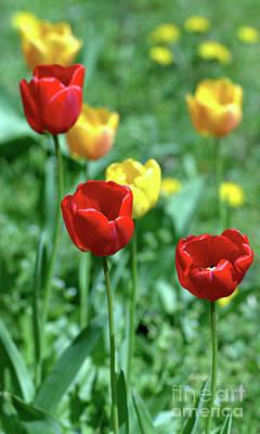Photograph - Sunny Tulips by Baggieoldboy