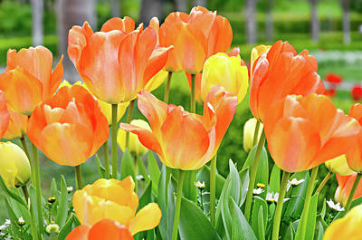 Art Print featuring the photograph Sunny Tulips by David Lawson