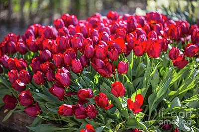 Photograph - Sunny Tulips by Eva Lechner
