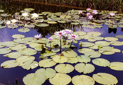 Photograph - Sunny Waterlilies by Jan Amiss Photography