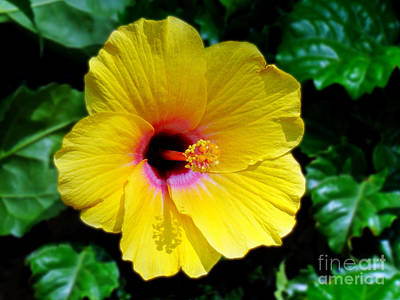 Photograph - Sunny Yellow Hibiscus by Sue Melvin