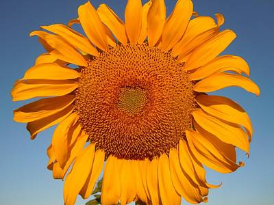 Photograph - Sunnyside Of A Sunflower by Dan Whittemore