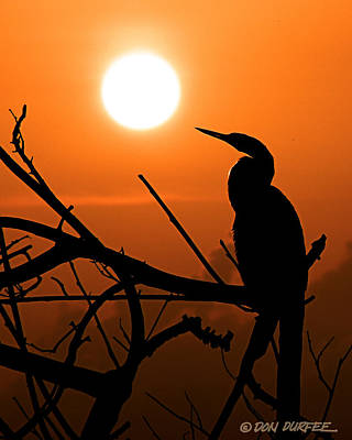 Photograph - Sunrise Anhinga by Don Durfee