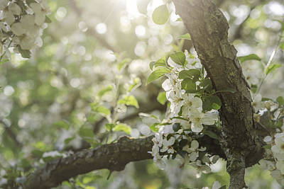 Photograph - Sunrise Blossoms by Mary Angelini