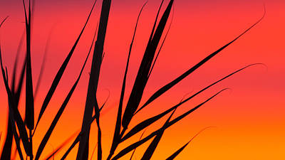 Photograph - Sunrise Cane Silhouette by Steven Green