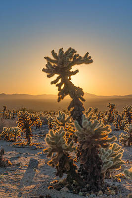 Mojave Photograph - Sunrise Cholla by Joseph Smith