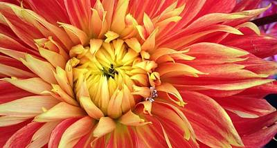 Photograph - Sunrise Dahlia by Bruce Bley