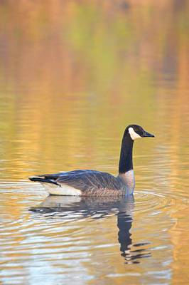 Photograph - Sunrise Goose 2 by Bonfire Photography