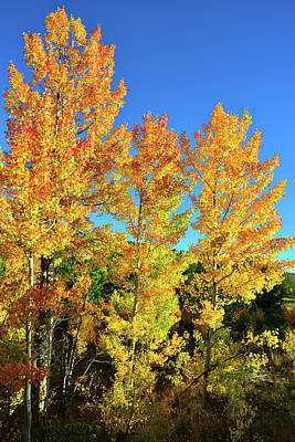 Photograph - Sunrise On Golden Aspens In Dillon Co by Ray Mathis