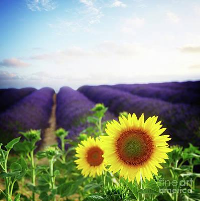 Sunrise Over Sunflower And Lavender Field Art Print