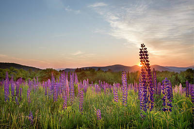 Photograph - Sunrise Over The Lupine Field by Betty Wiley