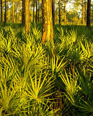 Photograph - Sunrise Saw Palmettos by John Myers