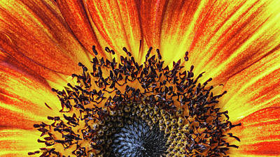Photograph - Sunrise Sunflower by Scott Campbell
