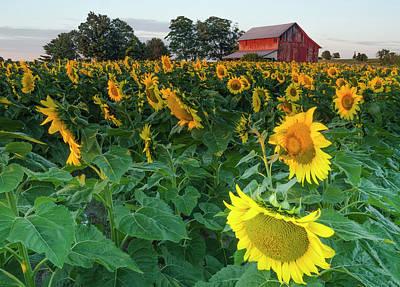 Photograph - Sunrise Sunflowers by Thomas Pettengill