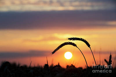 Photograph - Sunrise Wheat Silhouette by Tim Gainey