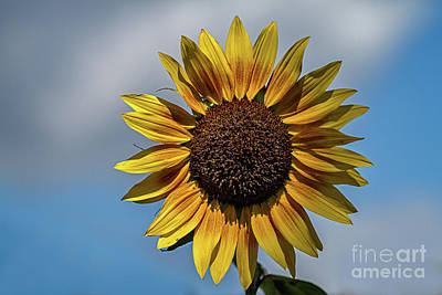 Photograph - Sun's Flower by Gene Healy