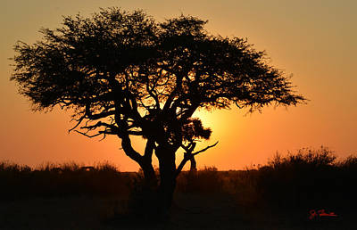 Photograph - Sunset Acacia by Joe Bonita