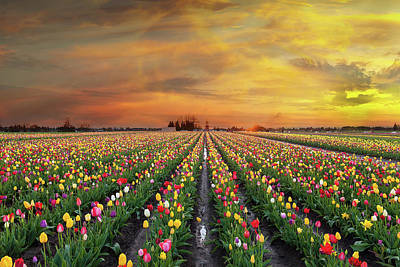 Photograph - Sunset At Tulip Fields In Bloom by David Gn