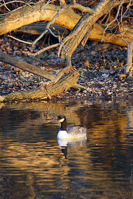 Photograph - Sunset Autumn Goose  by Cathy  Beharriell