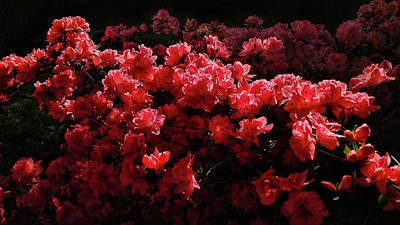Photograph - Sunset Azalea Bed by Jim Moore