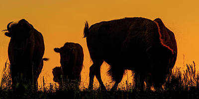 Photograph - Sunset Bison 1 by Rob Graham