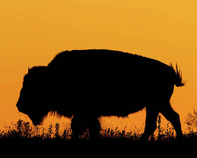 Sunset Bison 2 Art Print