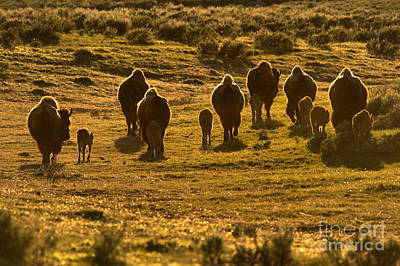 Photograph - Sunset Bison Stampede by Adam Jewell