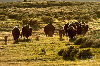 Photograph - Sunset Bison Stroll by Adam Jewell
