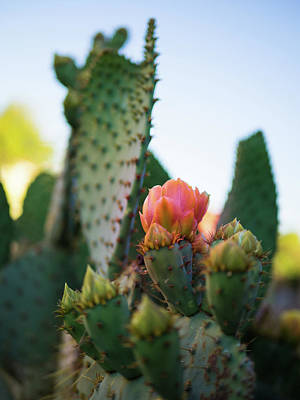 Photograph - Sunset Cactus Bloom by William Shevchuk