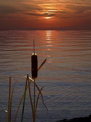 Photograph - Sunset Cattail by Judy Johnson