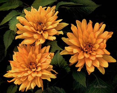 Photograph - Sunset Dahlias by Mike Braun