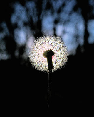 Photograph - Sunset Dandelion by Philip A Swiderski Jr