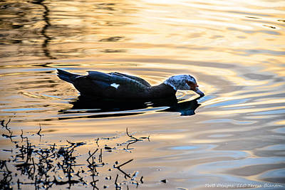 Photograph - Sunset Duck by Teresa Blanton