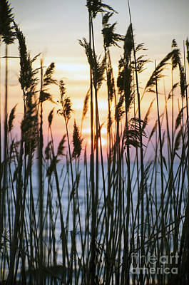 Photograph - Sunset Dunegrass by Debra Fedchin