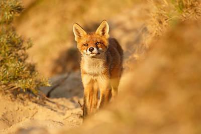 Sunset Fox Cub Art Print by Roeselien Raimond