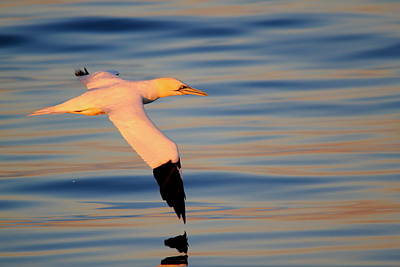 Photograph - Sunset Gannet by Richard Patmore