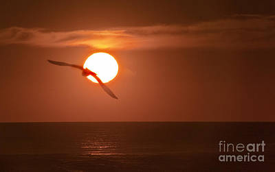 Sunset Gull No.1 Art Print by Scott Evers