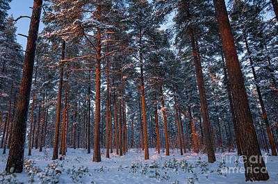Photograph - Sunset In The Pine Forest by Ismo Raisanen