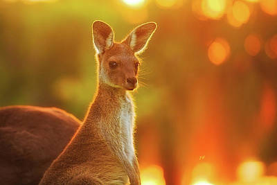 Print featuring the photograph Sunset Joey, Yanchep National Park by Dave Catley