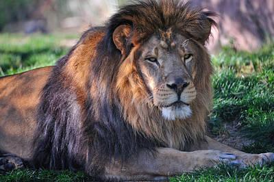 Phoenix Zoo Photograph - Sunset Lion by Tom Dowd