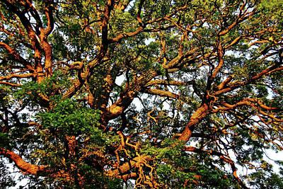 Photograph - Sunset Oak by Debbie Oppermann