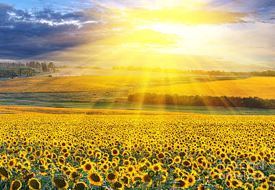 Sunset Over The Field Of Sunflowers Against A Cloudy Sky Print by Caio Caldas