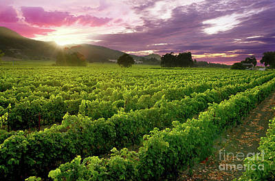 Sunset Over The Vineyard Art Print by Jon Neidert