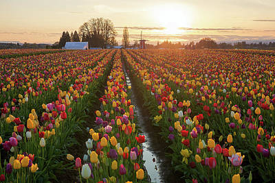 Photograph - Sunset Over Tulip Fields by David Gn