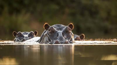 Hippo Wall Art - Photograph - Sunset Pool by Hillebrand Breuker