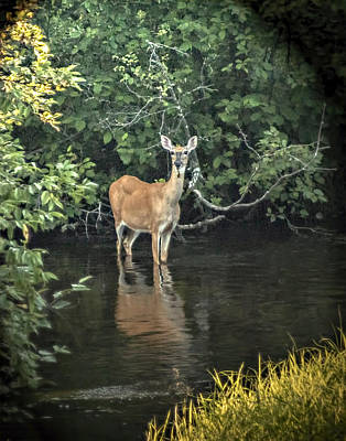 Photograph - Sunset River Doe by Judy Johnson