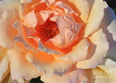 Roses Photograph - Sunset Rose by Carol Groenen