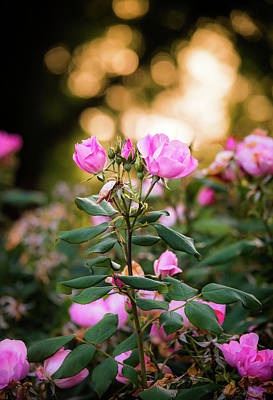 Photograph - Sunset Roses by Parker Cunningham