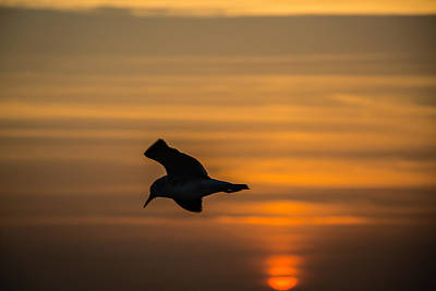 Photograph - Sunset Seagull by Gregory Daley  PPSA