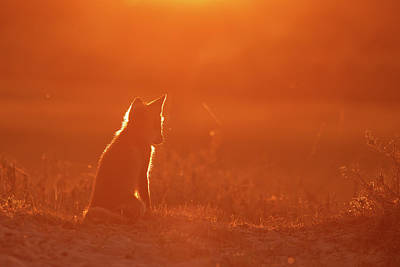 Contemplating Photograph - Sunset Series-  Musing Fox by Roeselien Raimond